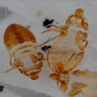 molted bed bug skin